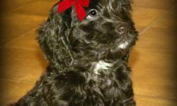 Tired of Apricot.... Tired of Blond..... Want something Unique.... Stunning Midnight Black F1 Cockapoo Puppies Available.    4 Boys and 2 Girls Available.   Our First Generation Cockapoo Pups will have wavy, non shedding, allergy friendly coats.  Maturing