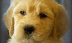 First Generation Gorgeous Standard GoldenDoodle Pups Available Now   Update: 4 Females   F1's result in beautiful wavy, low to no shedding, allergy friendly coats.    Maturing Size same as Golden Retriever...   Pups are Vet Checked, Vaccinated and