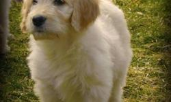 First Generation Gorgeous Standard GoldenDoodle Pups Available Now   Update: 2 Females   F1's result in beautiful wavy, low to no shedding, allergy friendly coats.    Maturing Size same as Golden Retriever...   Pups are Vet Checked, Vaccinated and