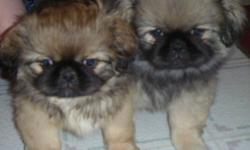 Little balls of fur! PUREBRED PEKINGESE puppies for sale. 2 males, very playful and cuddly. They are weened and ready to go to their new homes! mom and dad are both about 6 lbs photos are of puppies and mom and dad please call 7058627496 or email me for