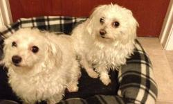 FOR Free! Two Adult Maltese Dogs (given away together) for free. They are cute lap dogs that are not fixed and are ready to breed.  Please contact Derek at 949-6442 or 537-4546.