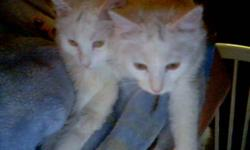 Two white kittens for sale they are good with dogs and other cats but they are indoor kittens and outdoor occasional for fresh air.They are purebreed white persian. There are 2 girls kittens,both sisters, would prefer them to go as a pair,since they are