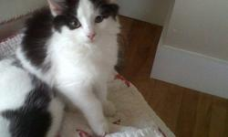 Three black & white kittens, all litter trained are ready for new homes. All very sweet and gentle. Available immediately. Photo 1 is female, photos 2-3 are male.