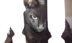 I am looking for a new home for my cat Cocoa, he is a friendly, playful, fun, affectionate cat. He is neutered and declawed , and has all vaccines.  I love him to pieces, unfortunately when we got our new puppy 2 months ago he has been peeing all over,
