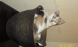 Wild Flower is a cute energetic short haired calico female kitten. I first met Flower walking to Wal-Mart.  She first followed me there, then to my house.  I asked around and posted Found posters and finally found her family.  I called them, they came and