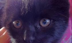 About nine weeks old last one of the litter, jet black, medium length hair. It's been outdoors so it's a little bit wild still bit just needs some time around people. Beautiful looking kitten. Would make an awesome barn cat This ad was posted with the