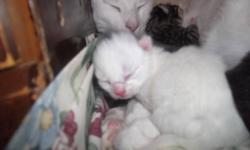 I have 2 kittens left from a litter of 4, they are bolth girls. they come from a healthy mum and dad, and are growing fast. e-mail if intrested. Iv been getting a lot of e-mails about people wanting to get one of the all white ones. there was NOT an all