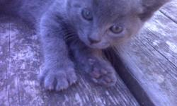 I have 3 kittens that are free to a good home, they will be ready to go October 28th. There are 2 black tabby's (female has green eyes, male has blue eyes) and one pure grey long hair kitten (female).  They are very well socialized with people and dogs,