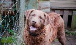 Offering our male Chesapeake Bay Retriever free to a good home. He is 4 years old with reddish brown hair. He is large, very strong and high energy. He loves people and needs someone who can spend time with him. Located in Mission. Call or email if
