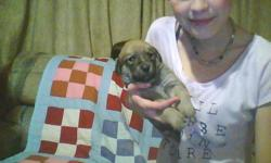 puppies to good homes/if you really don;t have time for a puppy please don't reply/ready in a month/mom is a lab mix(black)/dad is a valleybull boxer mix///////3 brown 3black.email only please