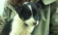 I have 5 puppy to give away, they are border collie/ blue heeler/ mini german shepherd dogs, get 18'' tall when full grown.  please call hal at 7809514615