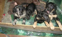 Puppies to give away, 4 males and one female. Great farm dogs or family pets. They are catahoula leopard dog X.. If interested email or call 306-967-2282 Danielle or Jim. Located in Eatonia SK