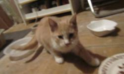 Three Beautiful Orange and White Tabby Kittens - Affectionate Tabbies Two Male and One Female - Will deliver to approved homes in Winnipeg or Brandon Pls Call 204 717 1157