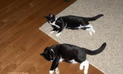 Two Domestic Short hair Kittens are just 12  months old and looking for a new loving home.  Dragon & Felix are brothers from the same litter and were purchased from the PEI Humane Society and are neutered.  Both have all shots and are healthy cats.  They