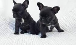 FRENCH BULLDOG, PUREBRED PUPPIES AVAILABLE, MALE-FEMALE, FIRST-SECOND SHOTS, DEWORMED, MICROCHIPED, VET CHECKED, GUARANTEED! THEY ARE THE CLOWNS OF THE BULLDOGS. HAPPY, PLAYFUL PUPPIES, GOOD WITH KIDS AND OTHER DOGS, COMPANION BREED! VERY CUTE, WELL CARED