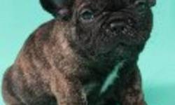 FRENCH BULLDOG PUPPIES 604 710-4805 BOY 1- PICTURES  1, 2, 3 GIRL 1- PICTURES 4, 5, 6  FOR  MORE PICTURES OF  THE PUPPIES GIVE US A CALL NOW 604 710-4805 All of our puppies have had there first and second set of shots, they come dewormed, microchipped and