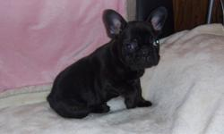 french bulldog puppy,black brindle,male,cute personallity,vet checked,dewormed,first and second shot,he is ready to go,can hold until Xmast with a deposit,comes with a puppy pack,for more info. call 1-780-581-0207