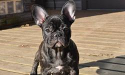 """""""YOUR NEW BEST FRIEND AWAITS!!""""   www.maandpawfrenchbulldogs.com   NOW READY TO GO TO THEIR NEW FOREVER HOMES!!   3 BRINDLE FEMALES AVAILABLE      Mom & Dad are both CKC & AKC Registered.   Impressive Champion bloodlines including PETI LLVER, VON DER"""