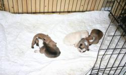 Did you get what you want for Christmas? I have what you want! Born Christmas Eve, 5 French bulldog puppies. One fawn pied male one black mask fawn female one black mask red fawn pied female two black mask red fawn pied males They were born on December 24