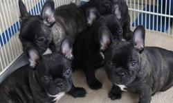 French Bulldog Puppies Healthy home raised with individual love and attention.  World class pedigree.  Microchipped, vet certificate, 6 week pet insurance, health guarantee, first set of needles, CKC registered to for ever loving homes on CKC non breeding