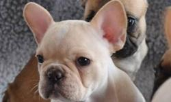 """""""YOUR NEW BEST FRIEND AWAITS!!""""   www.maandpawfrenchbulldogs.com     CKC French Bulldog Puppies!! 2 FEMALES AVAILABLE Red Fawn Girl - such a sweetie Cream Girl with white blaze & beautiful blue/green eyes     Mom & Dad are both CKC & AKC Registered. Mom"""