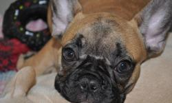 """""""YOUR NEW BEST FRIEND AWAITS!!""""   www.maandpawfrenchbulldogs.com     CKC French Bulldog Puppies Available!!   Red Fawn with Black Mask Female   Also Available: 3 Black Brindle Females   Your new Puppy will be Microchipped, Vet Checked, Healthy, Well"""