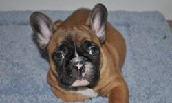 """YOUR NEW BEST FRIEND AWAITS!!""   www.maandpawfrenchbulldogs.com     CKC French Bulldog Puppies Available!!   Red Fawn with Black Mask Female   Also Available:  2 Black Brindle Females, Red Fawn Female, & Cream Female     Your new Puppy will be"