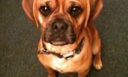 I am re-posting as I had a buyer who backed out last minute:   Loveable puggle for sale two years old. House broken, also crate trained. Great with kids and is a great addition to any family. E-mail for any further information or details. Would love to