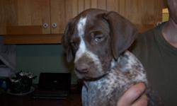 Full-blooded German Shorthaired Pointer puppy looking for a new home. Home-raised and handled every day. Both parents are on site. Mom and Dad have strong hunting instinct. First shots, de-wormed and vet-checked. Will make a great hunting dog and family