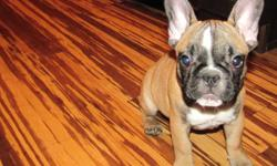 Hello,   We have a Registered Purebread Red Fawn French Bulldog Puppy for sale. She is 11 weeks old, has a great temperment and is very adorable. Looking for a warm and loving home- please contact for details.   780-994-6769