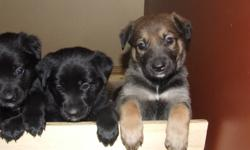 German Shepard/ Husky Cross Puppies ready for homes on 15th January 2012. 5 males, 2 females, reared indoors and great with children as they have been handled daily since birth by our 3 children, they are lots of fun! with great personalities! $70 to