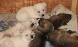 German shepherd pups, White and brown sable, home bred and raised. Looking for good owners. 8 weeks Jan 21, 1st shots and vet check.