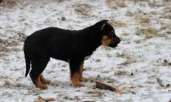 These cute little male puppies are looking for loving homes.  Puppies range from rotti colouring to shephard colouring.  They will grow to be anywhere from 80 to 100 lbs.  They are good with children and have a already learned to alert when someone is in
