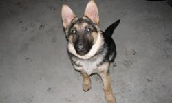 5 month old unregistered female german shepherd for sale. Looking for a good home that can give her the attention she needs.