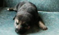 Gorgeous and bright German Shepherd puppies for sale, $500 each.   Born October 15.  Vet checked and de-wormed.   Both mother and father live with puppies and can be viewed.
