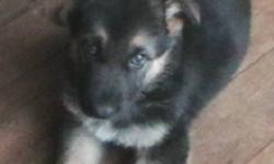 Gorgeous and smart long haired German Shepherd puppies for sale, $400 each, or will consider interesting trade.  Ready to go.   1 male and 1 female left.  Vet checked, first needles, de-wormed and hip checked.  No dysplasia in mother or father, and all