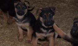 CKC REGISTERED, LARGE STRAIGHT BACK, BLACK AND TAN, WORKING GERMAN BLOODLINES, GREAT AS COMPANION OR PROTECTION. READY TO GO. LOOKING FOR GOOD HOMES. SOLD AS PET ONLY. WILL BE LARGE DOGS WITH MALES WEIGHING APPROX 110 POUNDS.