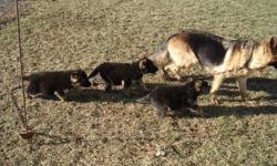 GERMAN SHEPHERD PUPPIES.  Only 1 females left for sale.  The puppies are black and tan in colour and dewormed.  Both parents are also on site.  Call (905) 772-3776 or (289) 440-3776.  No e-mails please.