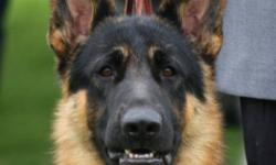 EDALE German Shepherds reg'd                                                                                                            Where dogs are our Passion - not our income ! WHEN ONLY THE BEST WILL DO   Owner of the 2011 Canadian Grand Victor   3