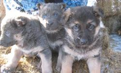 PUPPIES ARE PURE-BRED GERMAN SHEPHERD. PARENTS CAN BE SEEN. EASY TO TRAIN, VERY OBEDIENT, LOVING AND LOYAL. WILL COME VET CHECK AND SHOTS. CALL: 1-204-268-3059   OR 1-204-268-5569