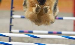 """UNICA Kennels just got a litter of the """"good old kind"""" of German Shepherds > Shepherds like they used to be:  nice, big, solid, well tempered dogs with a STRAIGHT back!  Shepherds like they used to look and be.<                   My goal always was to"""