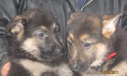 German Sheppard puppies OUR PUP'S are ready to go NOW. A perfect Christmas gift. Only 1 boy and 1 girl left .. Mom and Dad are on site. We have our 1st shot's CALL Penny 902-682-2971or try my cell it has an answering machine. 902-682-7937 The 2 pic is the