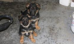 german shepperd pups, 2 males ready to go to there new home. have all shots up to date.  last 2 pictures are of the parents. Parents are really good with kids and well mannered. Call anytime during the day or evening. (780) 967-6424