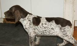 Looking for that special hunting dog? German Shorthaired Pointers are great hunters and retrievers. They are very popular in Europe and the U.S. They are very intelligent and fast learners. Their short dense coat is easy to care for and keeps them warm in
