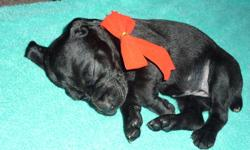 We have Solid Liver & Solid Black (rare to this breed) register able Pups.   Born  November 24 good to go to new home  January 18 first come  first pick.  Vet checked first vaccination,de-wormed,dew claws removed & tails docked.  Both parents registered