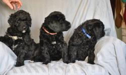 4 of our female F1(FIrst Generation)  Giant Schnoodle puppies will be available for viewing in the Edmonton area on Jan. 9th, 2012.   Please email us to arrange for a viewing time and address.    Mama is an AKC registered Giant Schnauzer and Papa is a CKC
