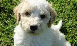 """Ready to go. Beautiful, light coloured Golden Doodle pups. Parents are Golden Doodle and Standard Poodle. These pups have low shedding, wavy coats. Looking for loving, """"forever"""" homes."""
