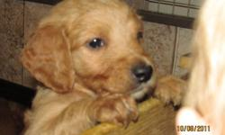 Puppies have been vet checked, first set of shots, second set of deworming, clean bill of health, and oked by the vet to be rehomed   F1-B Goldendoodles = F1 Goldendoodle x Pure Bred Golden Retriever (Same class as F1 Goldendoodle x Poodle but in reverse)
