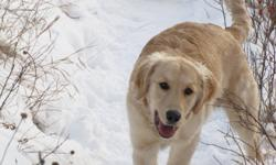 Pure Bred Golden Retriever needs forever home in time for x-mas.  All shots dewormed vet checked.  He is house broken and is well socialized he loves kids and has an excellent temperment.  Parents on site for viewing.