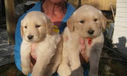 Non-registered Golden Retriever puppies.  They will have first shots and deworming.  Available from litter of  eleven:  5 boys and 4 girls (2 girls are sold).  Parents are gentle, eager to learn, athletic and beautiful.   Great family pets!  Delivery